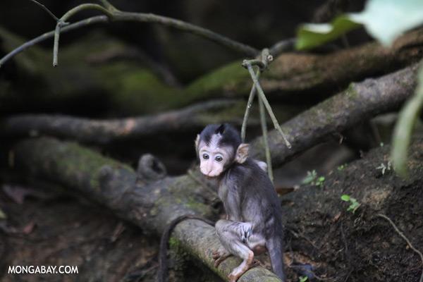 Baby macaque [sabah_kinabatangan_0098]