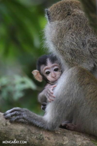 Baby macaque [sabah_kinabatangan_0101]