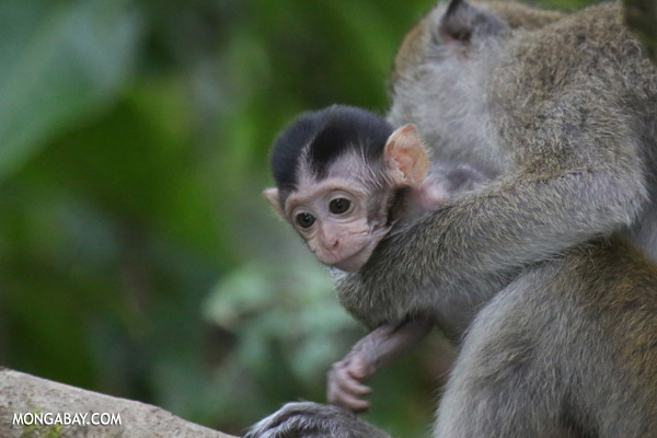 Baby macaque [sabah_kinabatangan_0103]