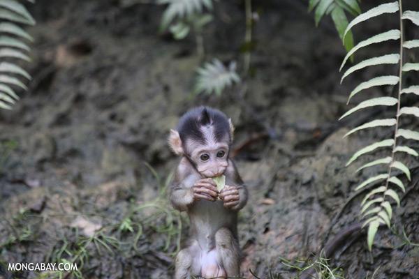 Baby macaque [sabah_kinabatangan_0107]