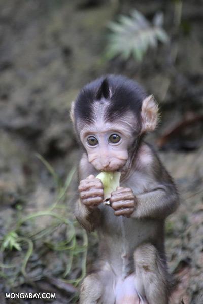 Baby macaque [sabah_kinabatangan_0111]