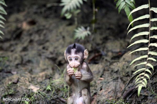 Baby macaque [sabah_kinabatangan_0112]