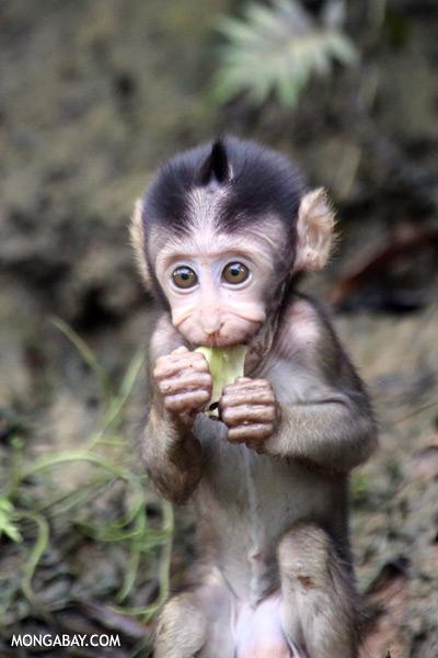 Baby macaque [sabah_kinabatangan_0113]