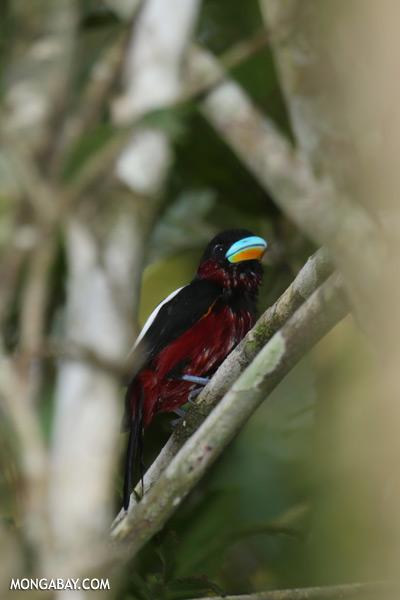 Black-and-red Broadbill (Cymbirhynchus macrorhynchos)