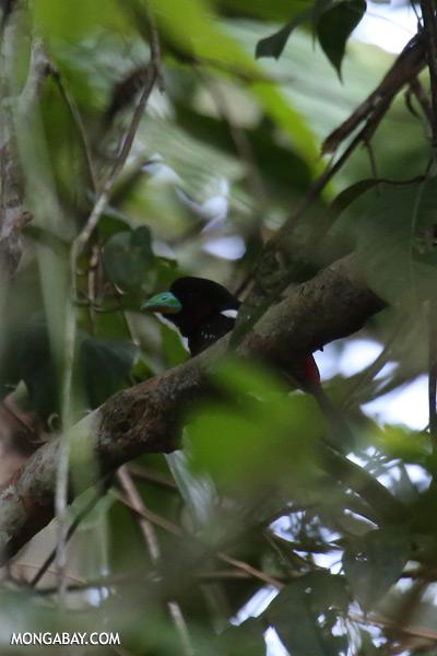 Black-and-red Broadbill (Cymbirhynchus macrorhynchos) [sabah_kinabatangan_0125]