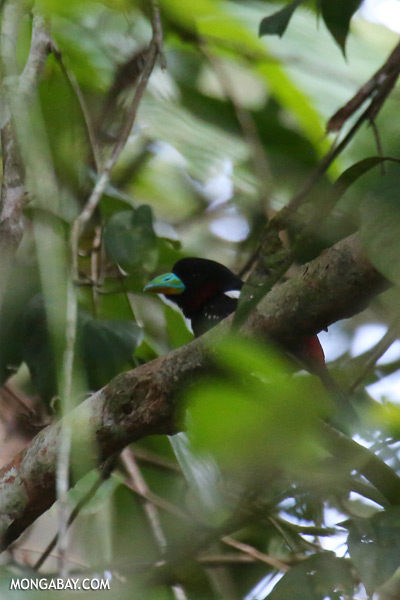 Black-and-red Broadbill (Cymbirhynchus macrorhynchos) [sabah_kinabatangan_0126]