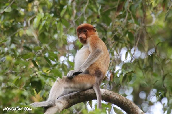 Proboscis monkey [sabah_kinabatangan_0131]
