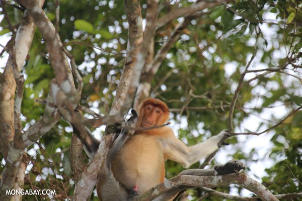 Proboscis monkey [sabah_kinabatangan_0132]