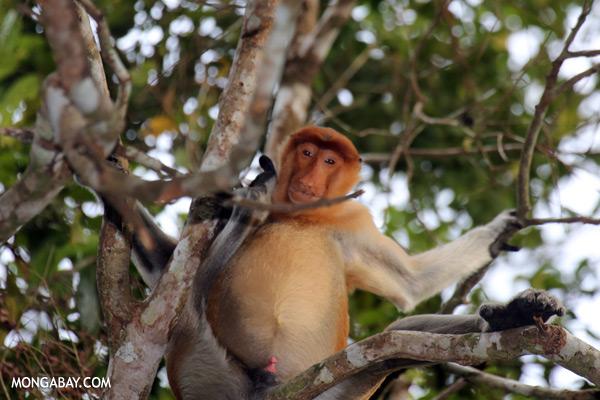 Proboscis monkey with an erection