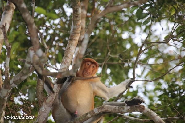 Proboscis monkey [sabah_kinabatangan_0134]
