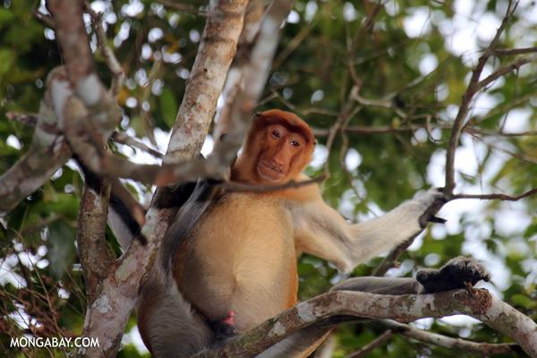 Proboscis monkey [sabah_kinabatangan_0135]