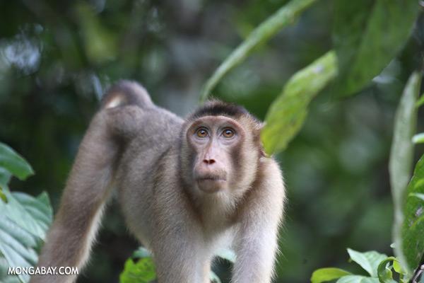 Pig-tailed macaque [sabah_kinabatangan_0141]