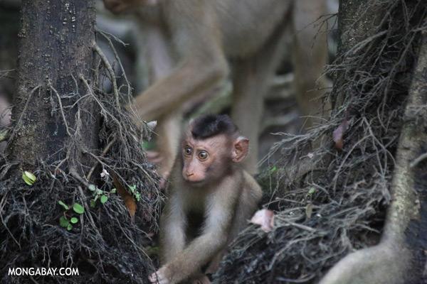 Juvenile pig-tailed macaque [sabah_kinabatangan_0147]