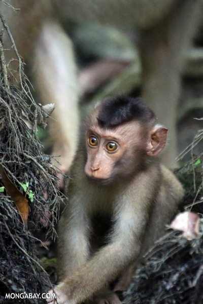 Juvenile pig-tailed macaque