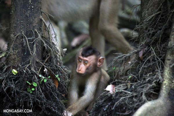 Juvenile pig-tailed macaque [sabah_kinabatangan_0149]