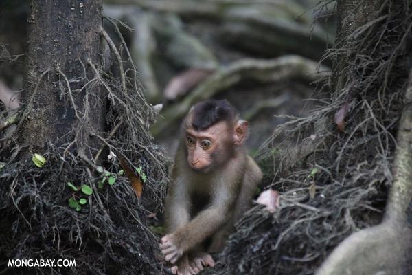 Juvenile pig-tailed macaque [sabah_kinabatangan_0152]