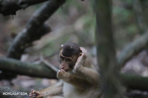 Pig-tailed macaque [sabah_kinabatangan_0156]