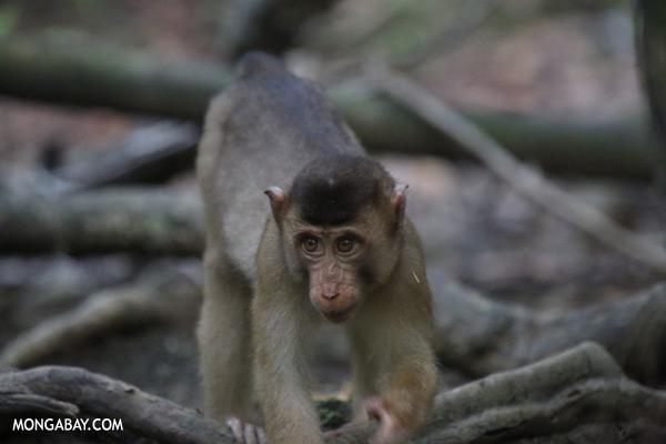 Pig-tailed macaque [sabah_kinabatangan_0162]