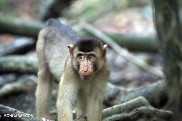 Pig-tailed macaque [sabah_kinabatangan_0167]