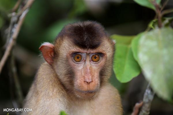 Pig-tailed macaque [sabah_kinabatangan_0168]