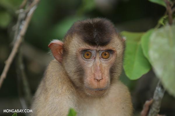Pig-tailed macaque [sabah_kinabatangan_0169]
