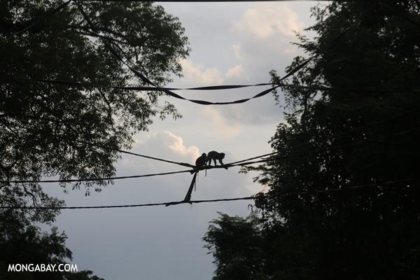 Macaques crossing an organutan bridge [sabah_kinabatangan_0174]