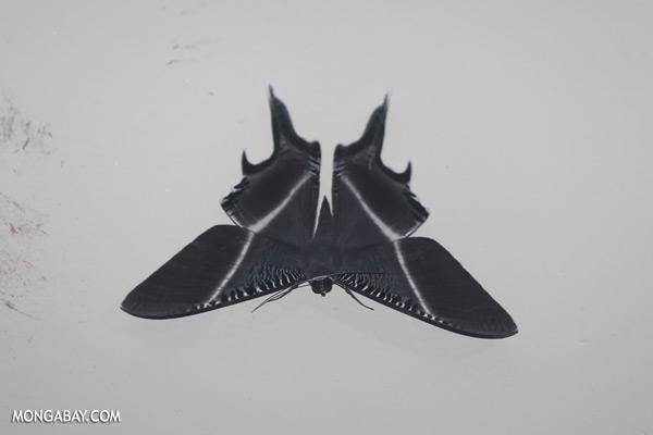 Borneo moth [sabah_kinabatangan_0184]