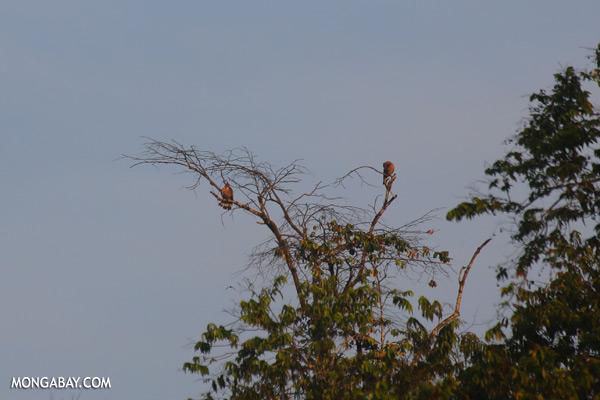 Snake birds [sabah_kinabatangan_0224]