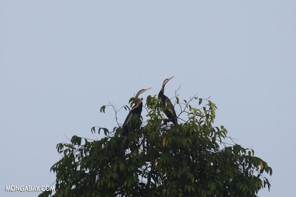 Snake birds [sabah_kinabatangan_0229]