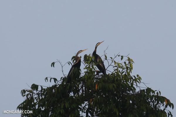 Snake birds [sabah_kinabatangan_0230]