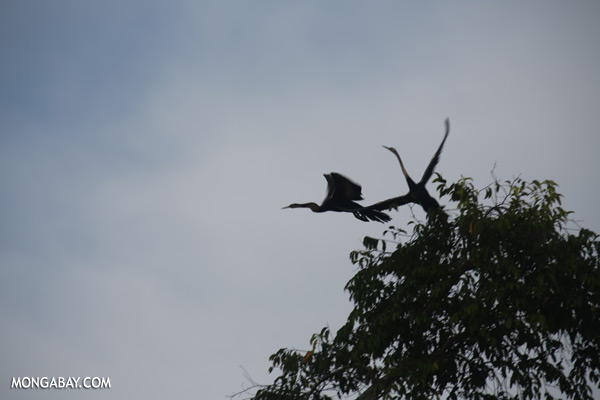 Snake birds [sabah_kinabatangan_0231]