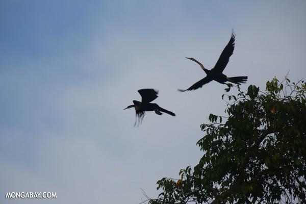 Snake birds [sabah_kinabatangan_0234]