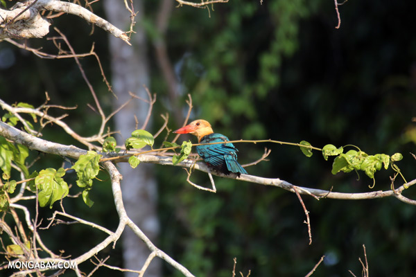 Blue-eared Kingfishers (Alcedo meninting phillipsi) [sabah_kinabatangan_0269]