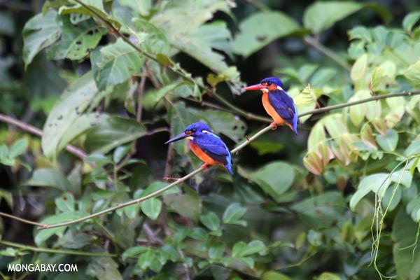 Blue-eared Kingfishers [sabah_kinabatangan_0283]