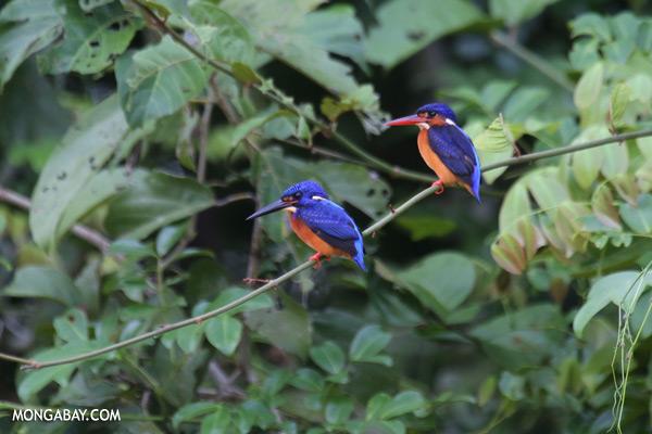Blue-eared Kingfishers [sabah_kinabatangan_0285]