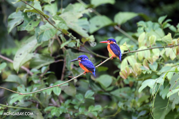 Blue-eared Kingfishers (Alcedo meninting phillipsi)