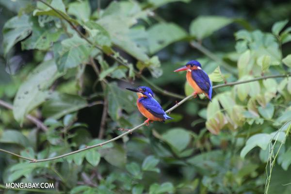 Blue-eared Kingfishers [sabah_kinabatangan_0289]