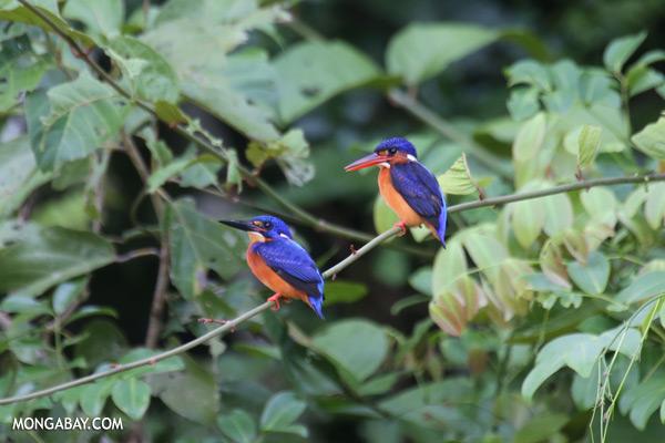 Blue-eared Kingfishers (Alcedo meninting phillipsi) [sabah_kinabatangan_0290]