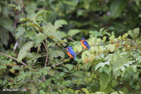 Blue-eared Kingfishers (Alcedo meninting phillipsi) [sabah_kinabatangan_0292]