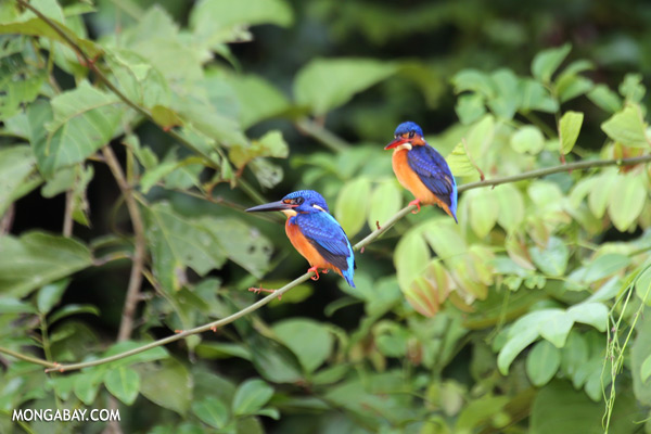 Blue-eared Kingfishers [sabah_kinabatangan_0293]