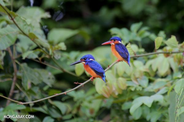 Blue-eared Kingfishers (Alcedo meninting phillipsi) [sabah_kinabatangan_0294]