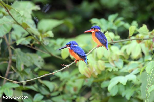Blue-eared Kingfishers [sabah_kinabatangan_0295]