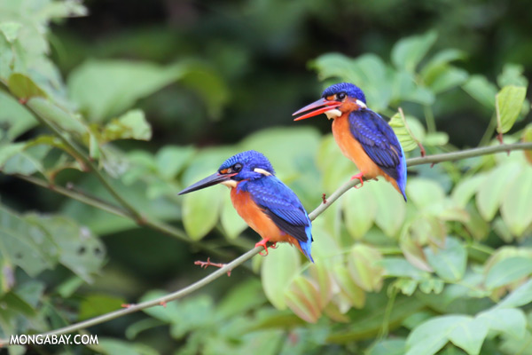 Blue-eared Kingfishers [sabah_kinabatangan_0297]