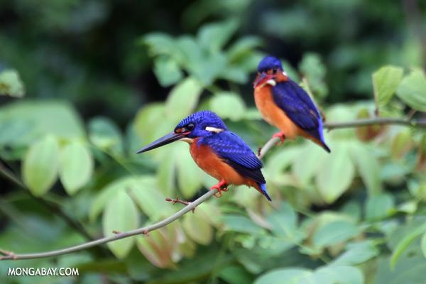 Blue-eared Kingfishers [sabah_kinabatangan_0303]