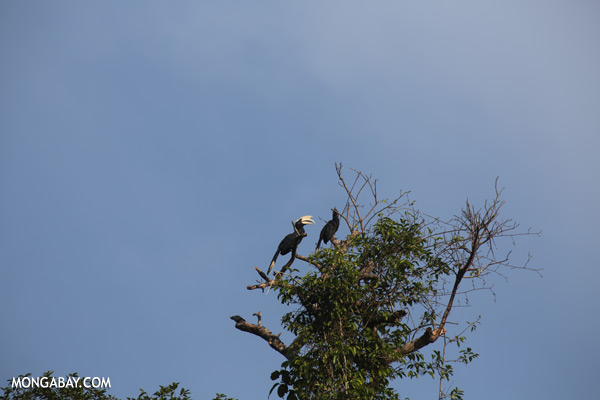 Black hornbills (Anthracoceros malayanus) [sabah_kinabatangan_0311]