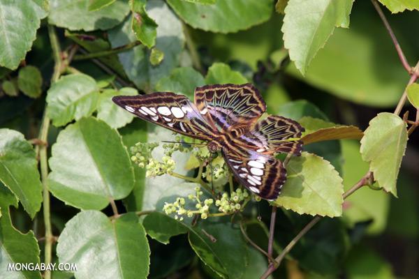 Butterfly [sabah_kinabatangan_0329]