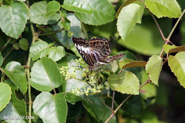 Butterfly [sabah_kinabatangan_0330]