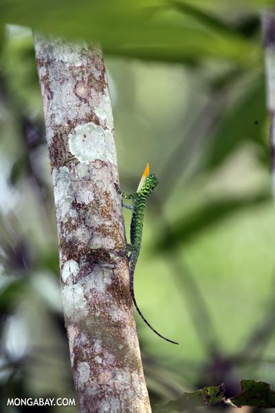 Flying dragon extending its dewlap [sabah_kinabatangan_0333]