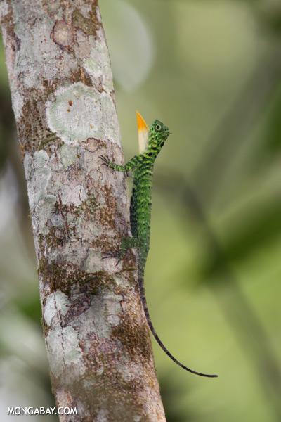 Flying dragon extending its dewlap [sabah_kinabatangan_0341]