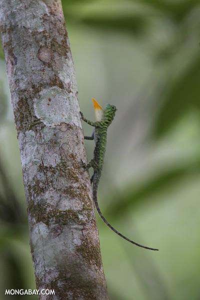 Flying dragon extending its dewlap [sabah_kinabatangan_0345]